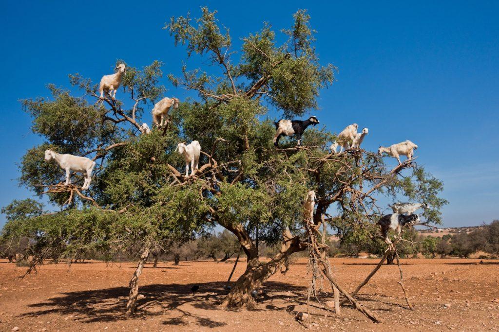 Morocco Argan Goats