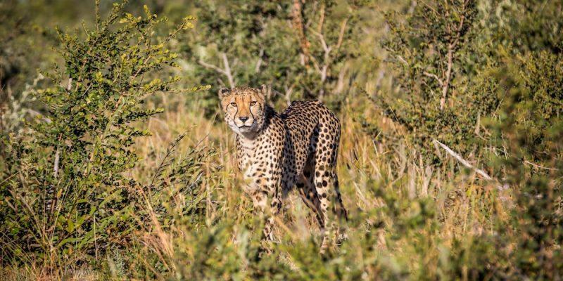 Madikwe Cheetah