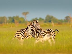 Safari Thumbnail