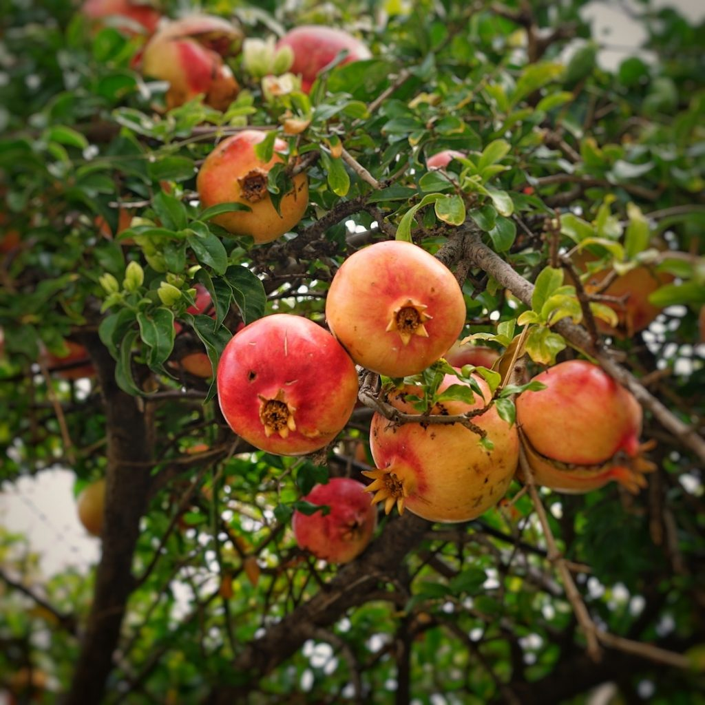 Pomegranates Crete